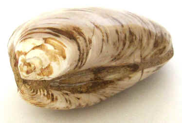 Fossil Clam